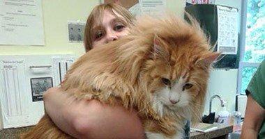 الاسم قطة والحجم كلب.. بالصور أضخم 12 قطة فى العالم