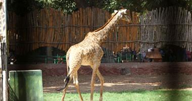 حيوانات جديدة في طريقها إلي حديقة حيوان الجيزة من دول أفريقيا