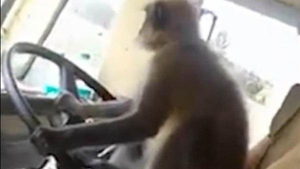 قرد يقود أتوبيس المسافرين في الهند.. فيديو