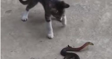 من سينتصر؟.. معركة شرسة بين ثعبان قاتل وقطة تهاجمه ببسالة (فيديو)