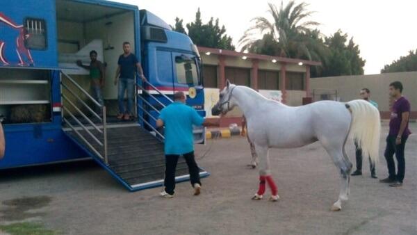 الزراعة: تصدير 6 خيول مصرية عربية أصيلة إلى الأردن