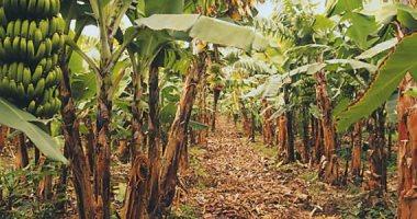 """""""الزراعة"""": حملات مرورية على حدائق الموز لمكافحة مرض """"التبرقش"""""""