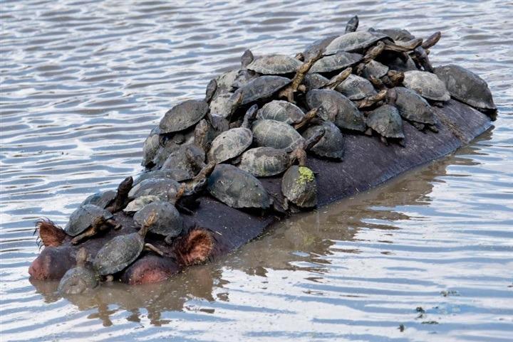 رحلة مجانية لسلاحف على ظهر فرس نهر عملاق (صور)