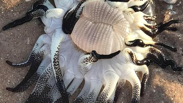 كائن غريب بمخالب سوداء يثير الذعر على شواطئ أستراليا