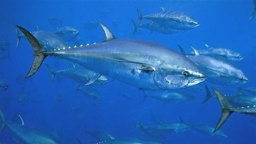 تعاون مصري ألماني لحماية حصة مصر من التونة ذات الزعنفة الزرقاء