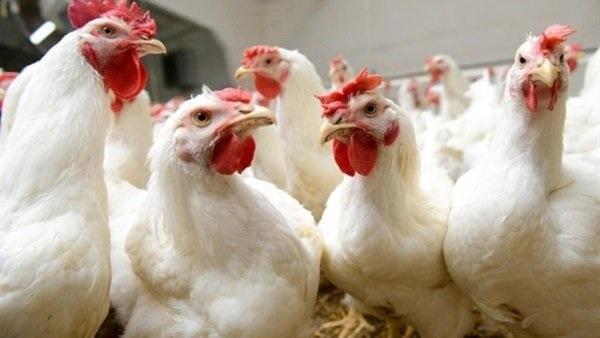 أعراض تظهر على الدجاج تؤكد إصابته بالسرطان (فيديو)