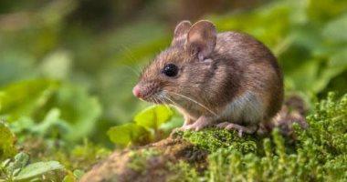 دراسة حديثة: قتل الفئران والقطط المتوحشة يعزز إنقاذ الحيوانات المهددة