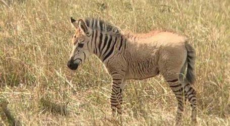 """ظهور حمار وحشي """"أشقر"""" ذهبي في محمية طبيعية بكينيا (فيديو وصور)"""