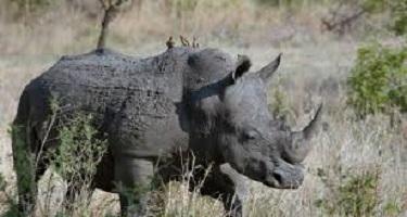 نفوق آخر وحيد قرن سومطرى فى ماليزيا
