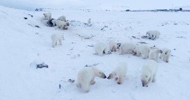 تغيرات الطقس دفعت الدببة القطبية لمهاجمة البشر