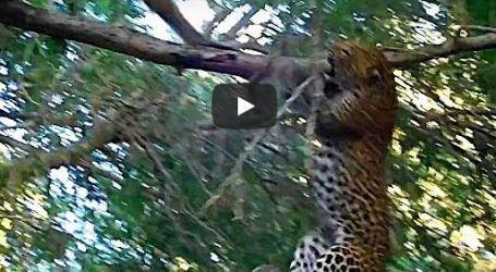 قرد يطرد فهدا حاول افتراسه والأخير يقع من الشجرة خوفا… فيديو