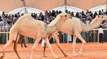 شرم الشيخ تشهد تنظيم أكبر مسيرة للإبل المصرية والإماراتية قبل افتتاح (مهرجان شرم الشيخ للهجن)