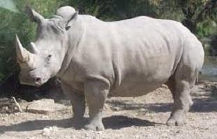 العثور على وحيد قرن نادر نافقا فى نيبال