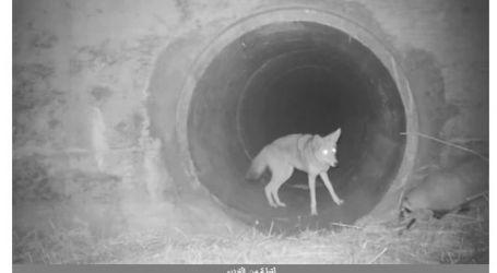 الذئب الوديع.. فيديو غريب لتصرف حيوان متوحش