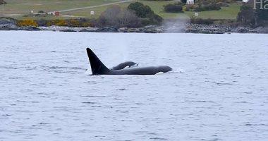 الحيتان الزرقاء تنجو من الانقراض بعد رصد 55 منها بأنتاركتيكا