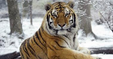 CNN: إصابة أول نمر فى حديقة حيوان بنيويورك بفيروس كورونا
