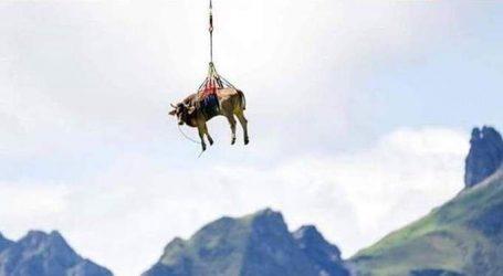 صورة.. ظهور بقرة طائرة فوق جبال الألب بسويسرا
