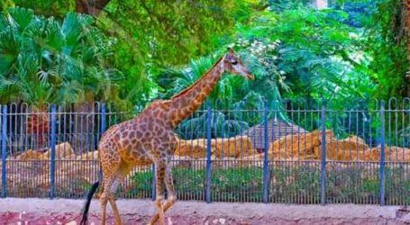 """عاجل .. وفاة ذكر الزرافة """"زيزو"""" فى حديقة حيوان الجيزة قبل زواجه من """"سوسن"""""""