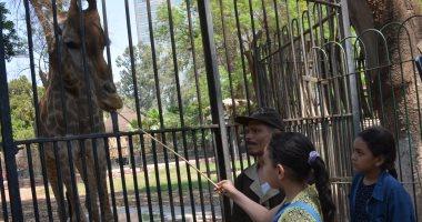 الزراعة تعلن موعد وصول 3 زرافات من جنوب أفريقيا لحديقة حيوان الجيزة