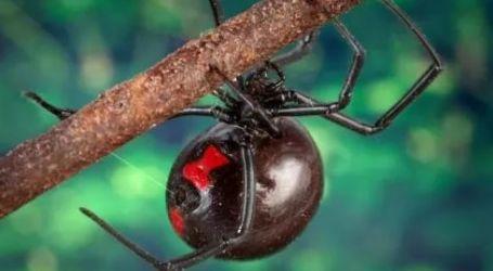 احترس من لدغة حشرة الأرملة السوداء