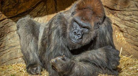 حديقة حيوانات أمريكية تسجل أول إصابة للغوريلات بفيروس كورونا