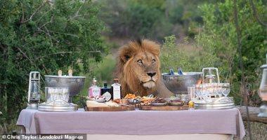الأسد لحظة اقتحامه لطاولة الغذاء