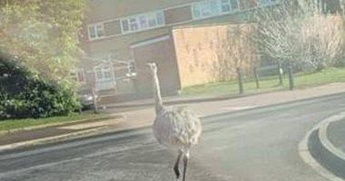 الطيور العملاقة فى شوارع بريطانيا